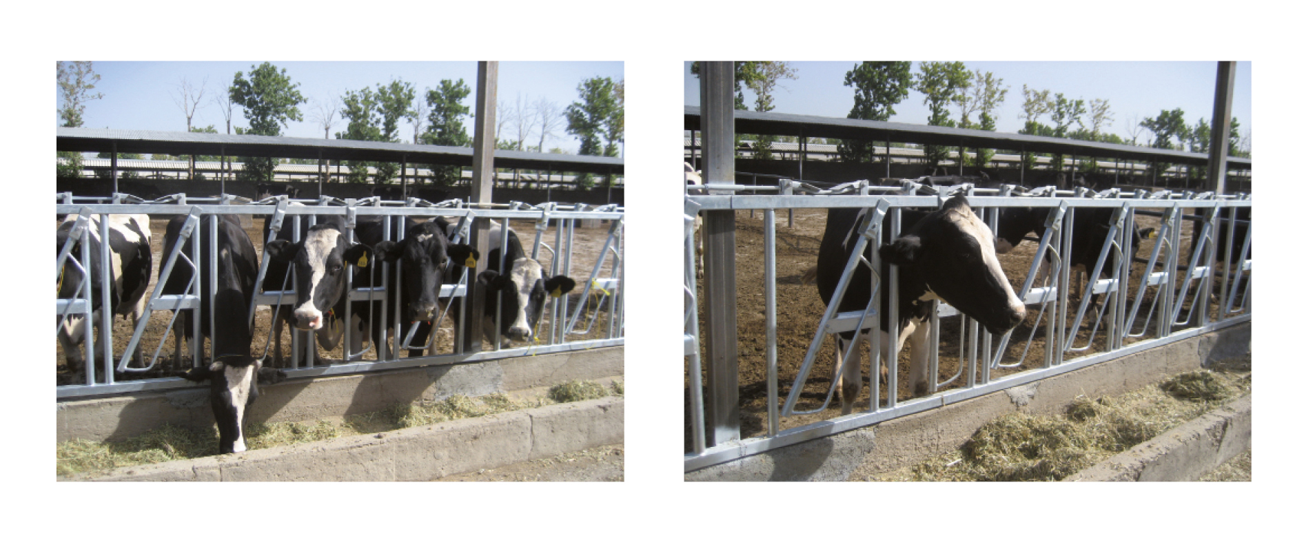 Head Lock - Special Equipment for Dairy Farms - Nolan UK